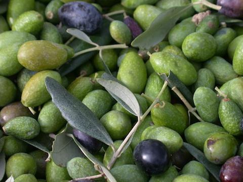 Tasting Chianti Olive Oil