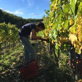 wine harvest 2015 from chianti region