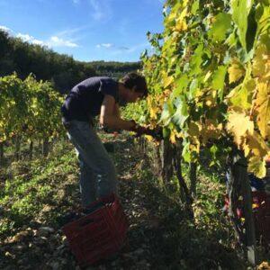 wine harvest 2015 from chianti region